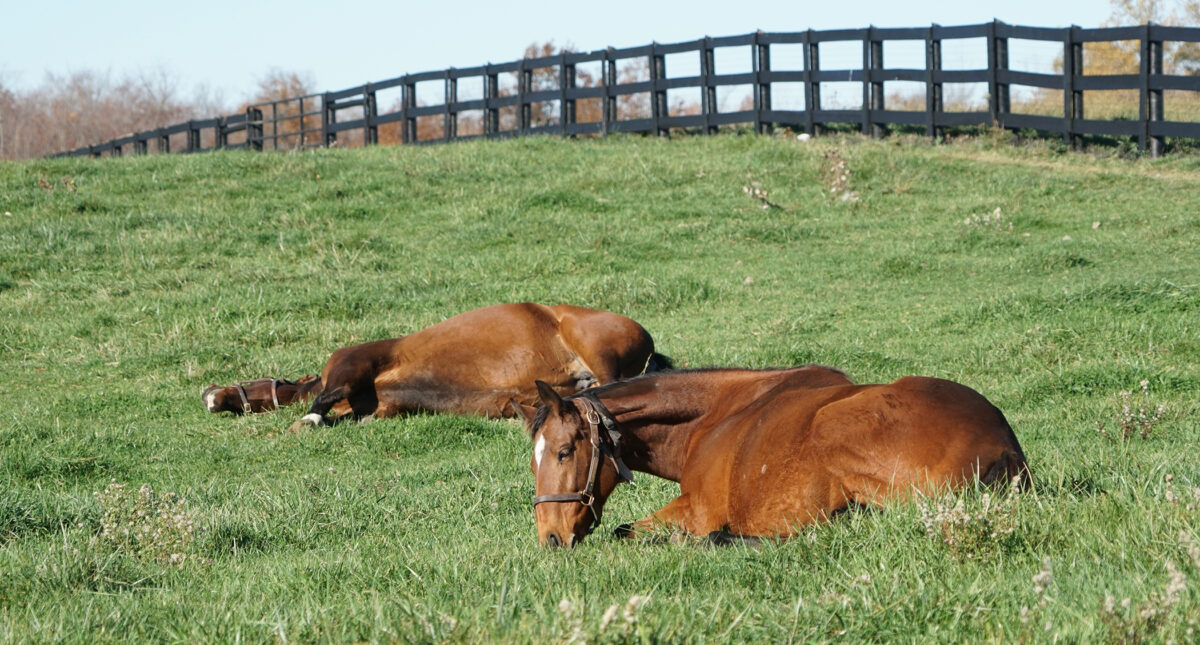 Horses laying down in the grass napping.
