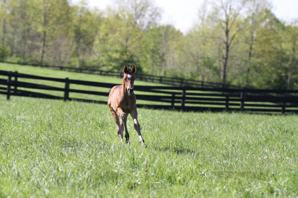 Young foal running through the grass.
