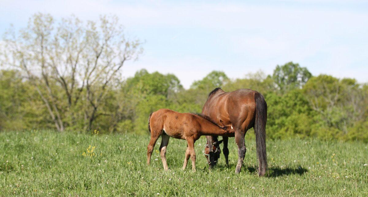 foal nursing in field