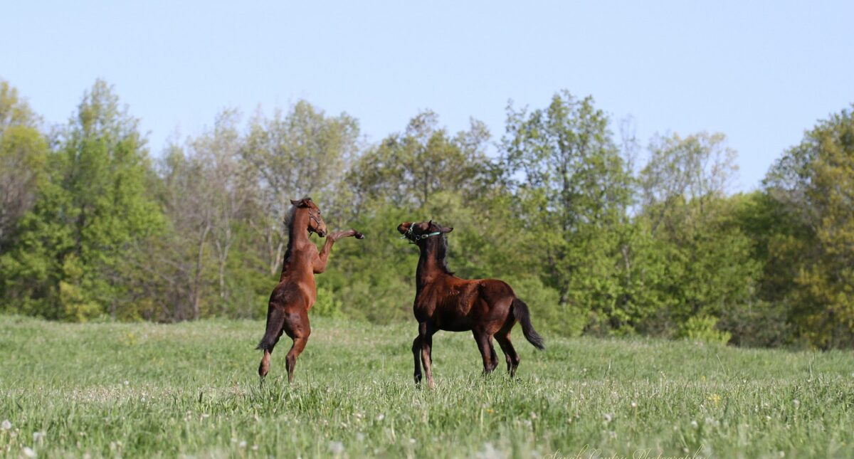 horses frolicking in field