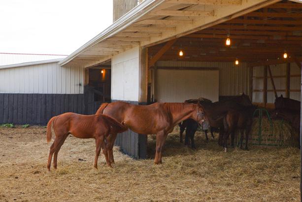 Mapleton Thoroughbred Farm foal nursing from a mare